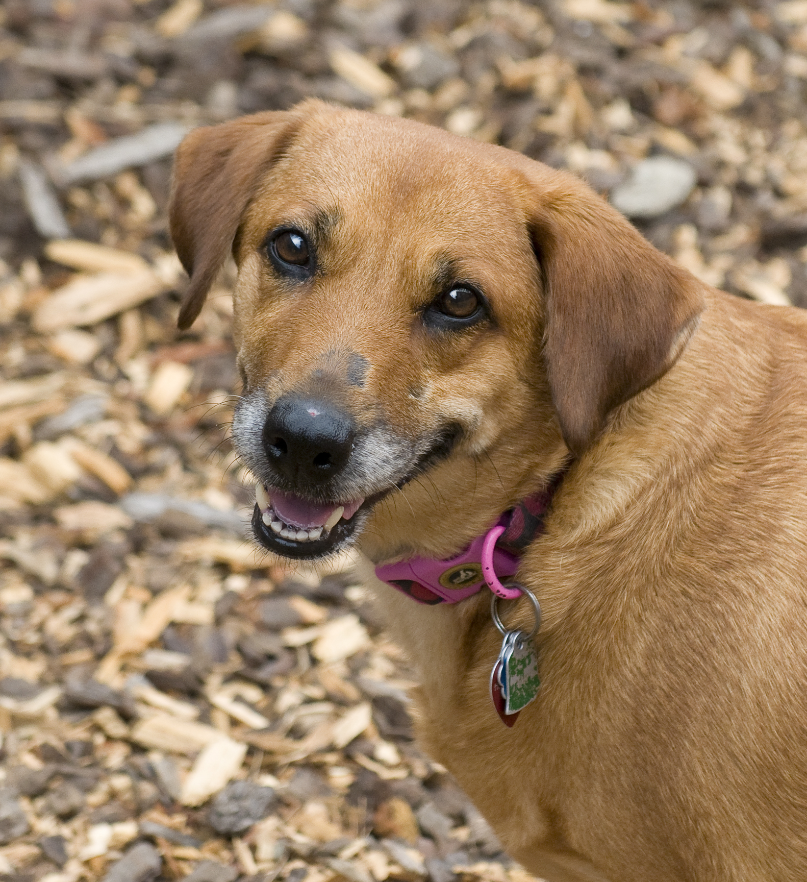Pet of the week Honey lab beagle mix